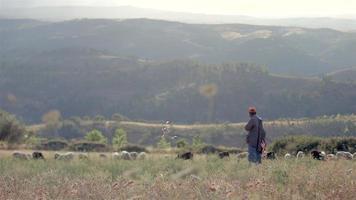 pastoreo de ovejas video