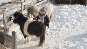 petite fille, brossage, poney shetland video