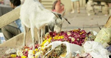 Goat eating colorful flowers.