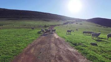 rebaño de ovejas pastando en las montañas video