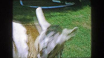1957: Goat grooming cleaning self leashed in public park.