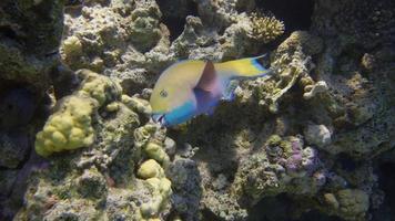 peixe papagaio video
