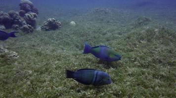 pesce pappagallo