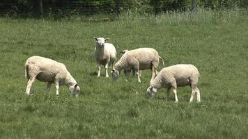 pecore bianche al pascolo video