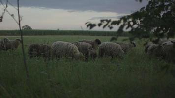 Rebaño de ovejas comiendo hierba en el campo video