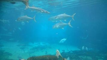 peixe video