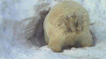 un orso bianco striscia in una tana di neve