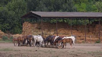 Pferde, die auf der Ranch fressen video