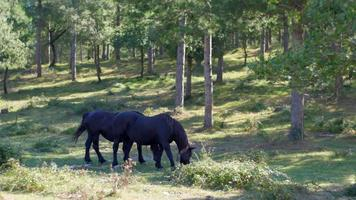 Small horses eating in the wood video