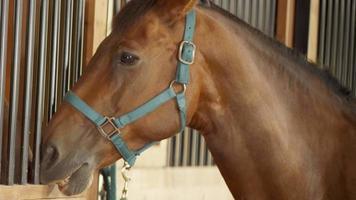 cavallo legato in una stalla video