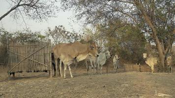 vacas e novilhas em pé em um campo no final da tarde video