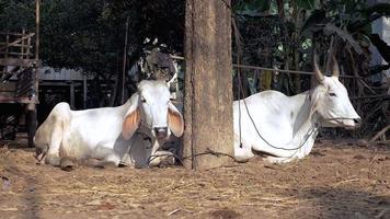 vacas deitadas e ruminando em um curral video