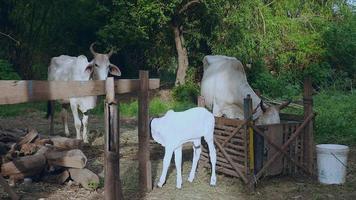 vacas brancas com bezerro em um curral video