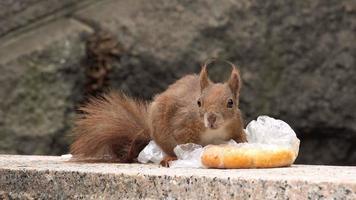 Ardilla hambrienta alimentándose con sobras de comida rápida video