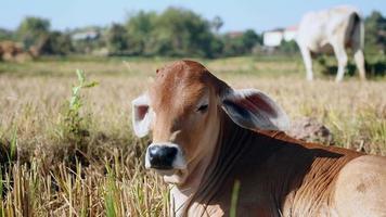 close-up de uma vaca bebê deitada no campo video