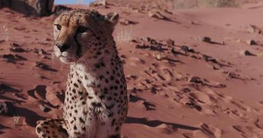 4K Cheetah snarling and looking towards camera