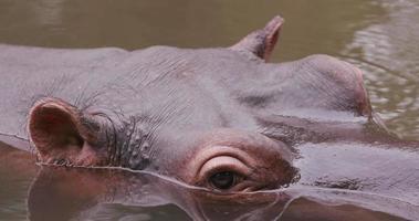 close-up do rosto de hipopótamo