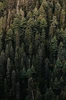 Green pine trees in the woods photo
