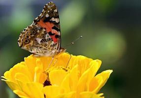 farfalla sul fiore giallo dei petali