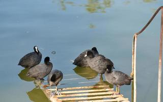 Coots on metallic stairs