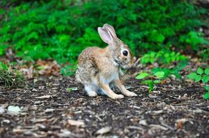 Small brown rabbit