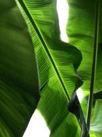 Green banana leaf photo