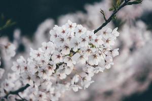 primer plano, de, blanco, flores de cerezo
