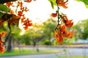 flores del árbol sagrado en un parque