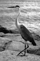 Egret at the water