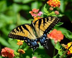 mariposa cola de golondrina en una flor foto