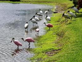 Wood storks and spoonbills