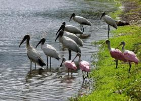 Wood storks and spoonbills photo