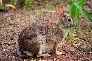 Wild brown rabbit