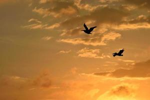Silhouette of flying pelicans