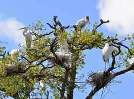 Wood storks and herons