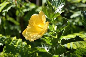 Vibrant yellow hibiscus flower photo
