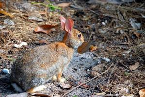 Wild Rabbit, Rabbit, Animal, Nature, Cute, Bunny, Hare photo