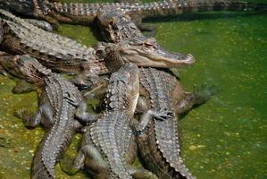 A group of American alligators