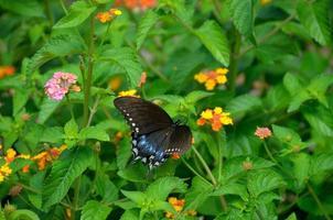 Mariposa cola de golondrina en el jardín