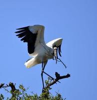 Wood stork on a tree