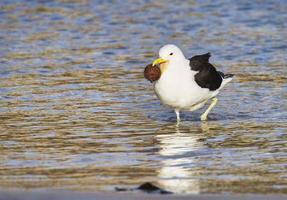 Kelp gull feeding