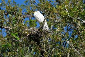 White heron at her nest