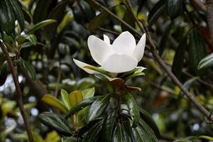 Magnolia flower in the park