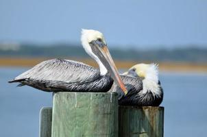 Brown pelicans resting