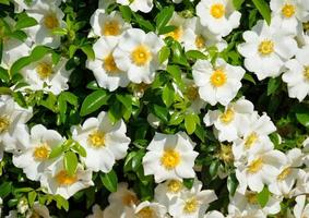 White Cherokee roses photo
