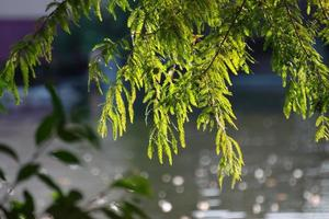 Conifer branches above lake water