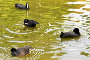 fochas descansando en el agua