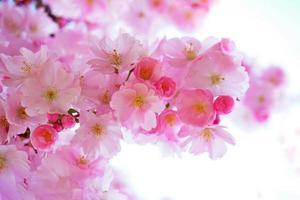 Flowers of Japanese cherry tree