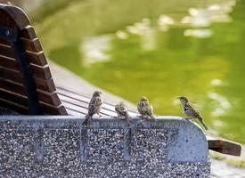 Four sparrows standing on concrete small wall