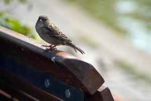 Sparrow standing on wood bench